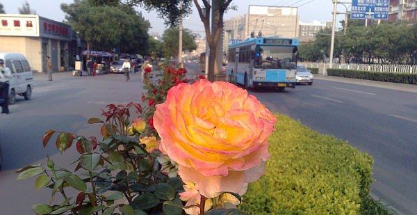 16-roses-in-traffic.jpg