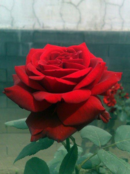 29-Day-Rose.jpg